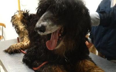 Apitherapie vétérinaire